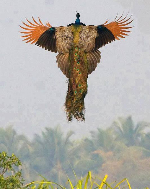 Flying_Peacock_Photo